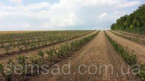 Арония черноплодная «Вениса»  ( саженцы 2 года ОКС), фото 3
