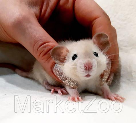 """Крыска дамбо ,окрас """"сиамский"""" с черными глазами,мальчики,1,5мес., фото 2"""
