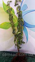 Кизил сорт Янтарный ( саженцы 2 года  ОКС )  Привитой - плодоносит, фото 2