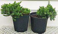 Можжевельник лежачий Bonin Islands Р9 (Juniperus Bonin Islands )