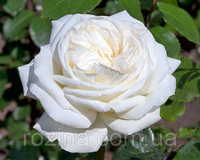 """Саджанці троянди """"Ломоносов"""""""