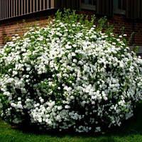 Спірея японська Albiflora, С3, фото 1