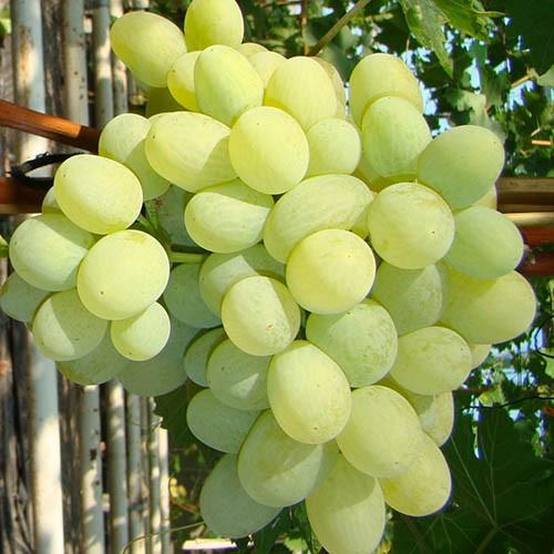 Саджанці винограду Дарунок Запоріжжю