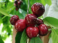 Саджанці черешні Василіса, фото 1