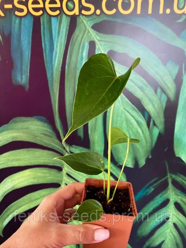 Антуриум микс молодое растение не цветущее