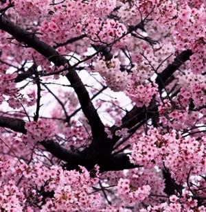 Насіння Сакура (Japanese cherry blodssom)