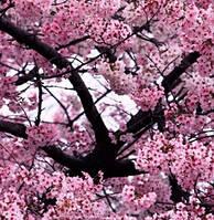 Насіння Сакура (Japanese cherry blodssom), фото 1