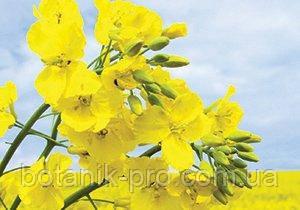 Семена озимого рапса Альбатрос от компании Limagrain