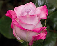 Саженцы розы Малибу (Malibu)