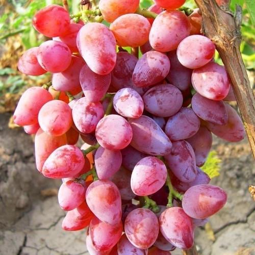 Саджанці винограду Румба