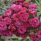 Роза Динки, фото 3