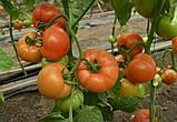 Семена томата Капонет F1 (500 сем.) Syngenta, фото 2