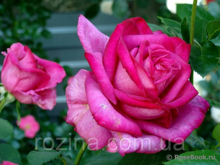 """Саженцы розы """"Пароле"""""""