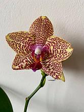 """Восковая сортовая орхидея P. Mituo Sun """"Miro"""" x Yaphon Goldrose """"Yaphon"""""""