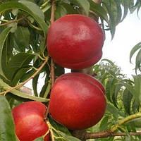 Саджанці нектарину Кримчанин (пізньоспілий сорт)