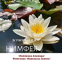 Німфея 'Марліака Альбіда'/ Нимфея 'Марлиака Альбида'/ Nymphaea 'Marliacea Albida', фото 1