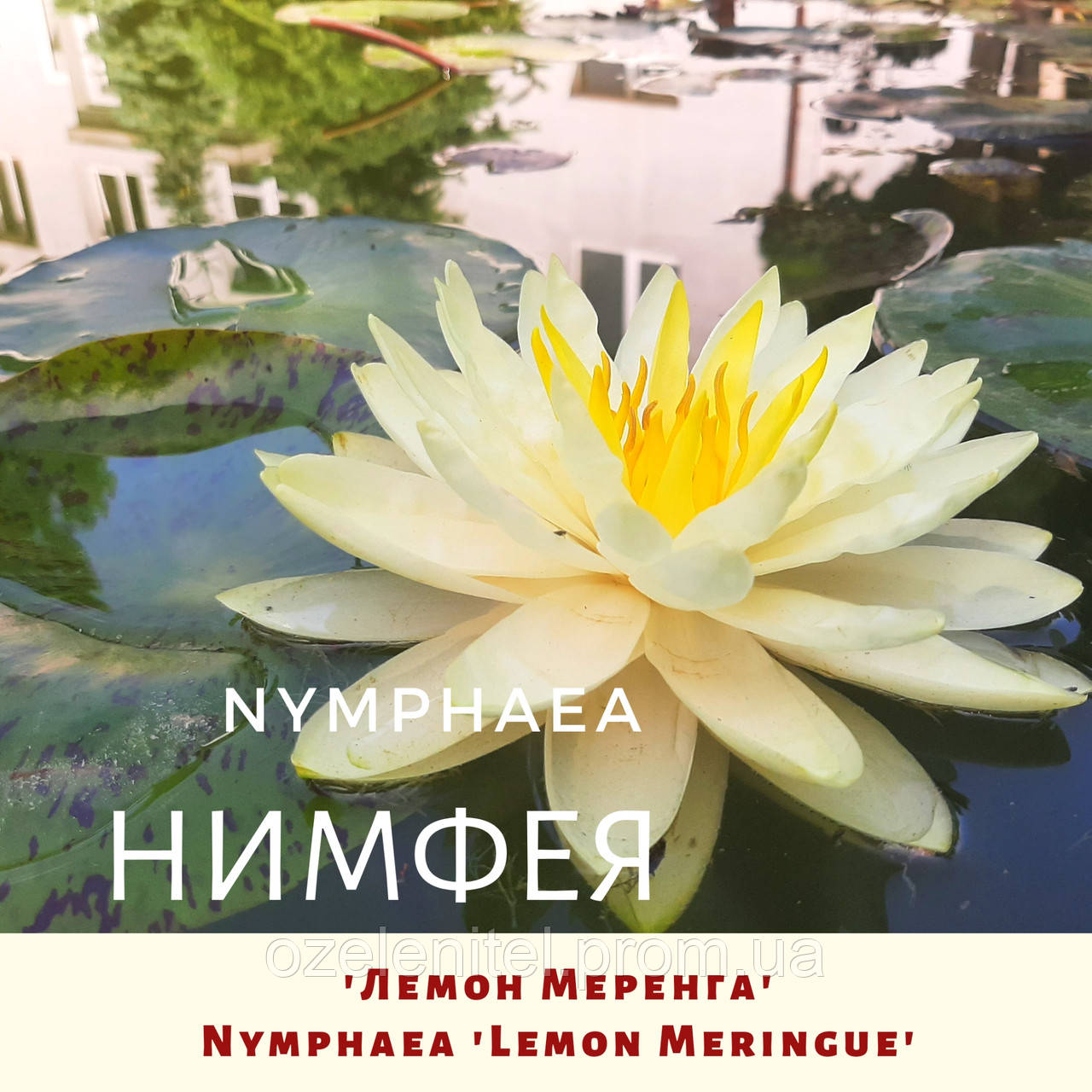 Німфея 'Лемон Меренга'/ Нимфея 'Лемон Меренга'/ Nymphaea 'Lemon Meringue'