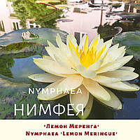 Німфея 'Лемон Меренга'/ Нимфея 'Лемон Меренга'/ Nymphaea 'Lemon Meringue', фото 1