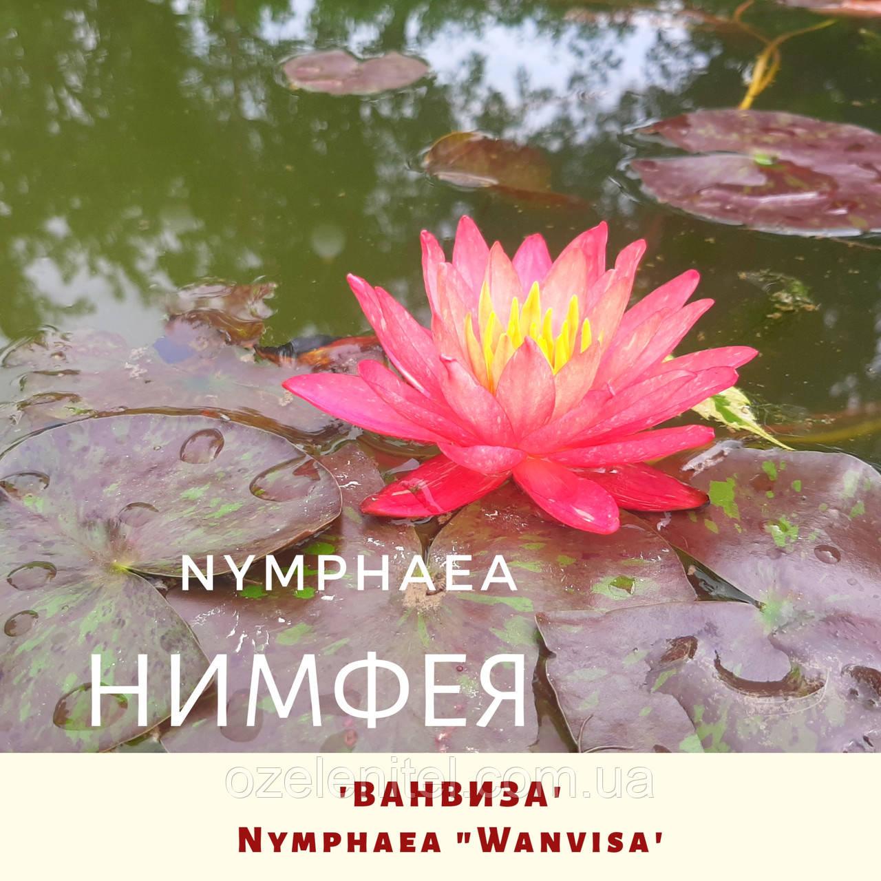 Німфея 'Ванвіза'/ Нимфея 'Ванвиза'/ Nymphaea 'Wanvisa'