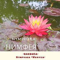 Німфея 'Ванвіза'/ Нимфея 'Ванвиза'/ Nymphaea 'Wanvisa', фото 1