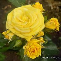 Саженцы роз бордюрных Санрайз
