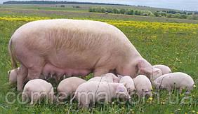 """Повнораціонний комбікорм для лактуючих Свиноматок"""" від виробника."""