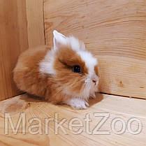 """Миниатюрный торчеухий кролик,порода """"Львиная голова"""",возраст 1,5мес.,девочка, фото 2"""