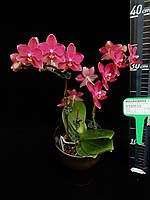 "Орхидея. Сорт Phal. Little vermilion, без цветов, размер 2.5"""