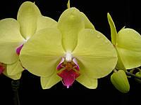 Орхидея фаленопсис. Сорт Golden star, размер 2.5 без цветов, фото 1