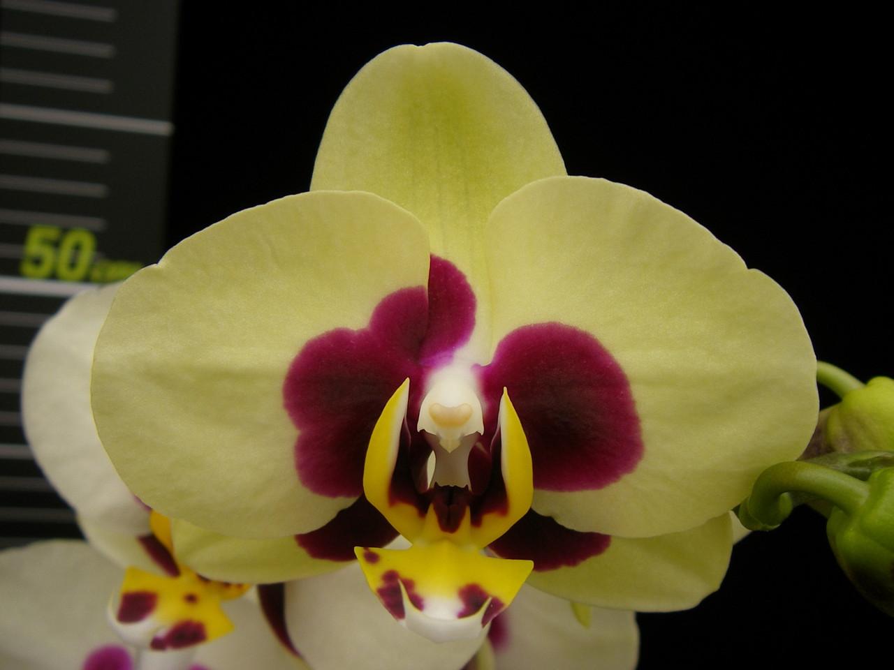 Подростки орхидеи. Сорт Chuen Yuan Panda, горшок 1.7 без цветов