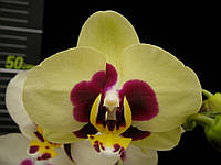 Подростки орхидеи. Сорт Chuen Yuan Panda, горшок 1.7 без цветов, фото 1
