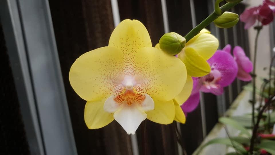 Подростки орхидеи. Сорт Wallet, горшок 1.7 без цветов