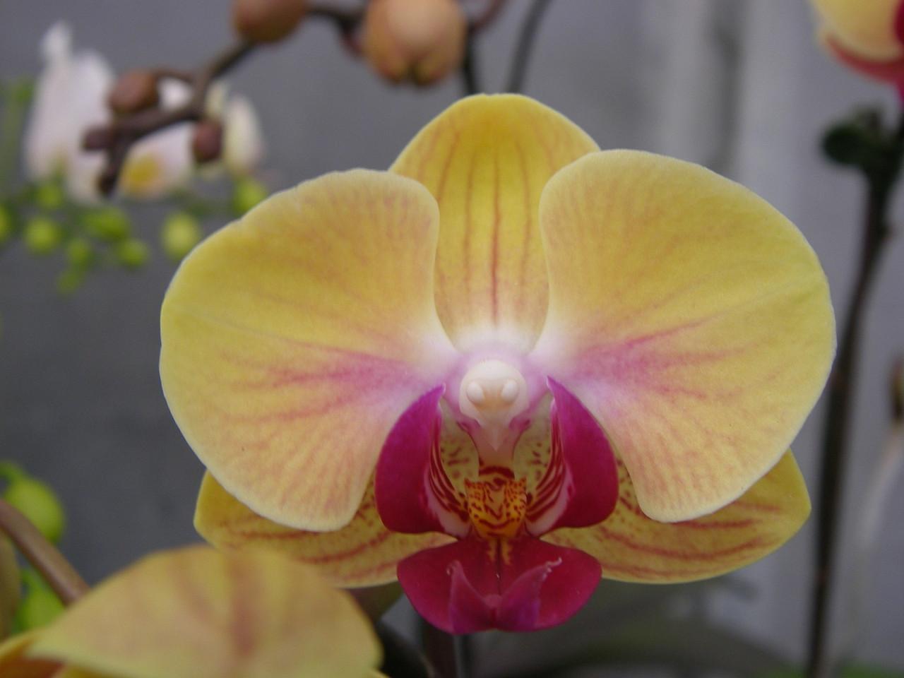 Подростки орхидеи. Сорт Sweety, горшок 1.7 без цветов