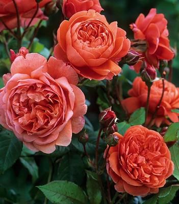 """Троянда англійська """"Summer Song"""""""