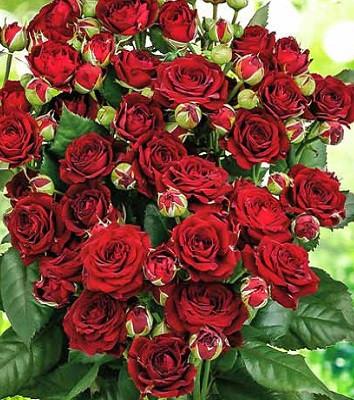 """Троянда спрей """"Red Sensation"""""""