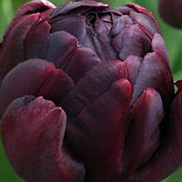 Тюльпан махровый Black Hero
