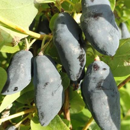 Жимолость Синий Банан съедобная, ЗКС в горшках 0.5 л, фото 2