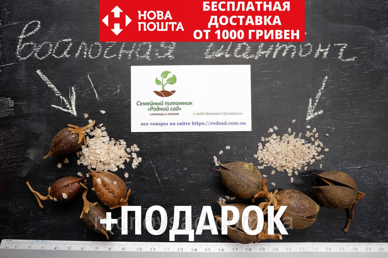 Комплект семян павловния войлочная (адамово дерево) + гибрид Шан Тонг (шантонг, ShanTong) (2500 + 1000 семян)