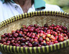 30 шт мини 8г кофе для гостиничного номера в подарок посетителю - редкий кофе Блю Маунтин Ямайка, фото 3