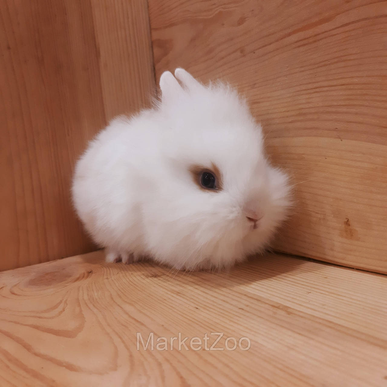 """Миниатюрный торчеухий кролик,порода """"Львиная голова"""",возраст 1,5мес.,мальчик"""