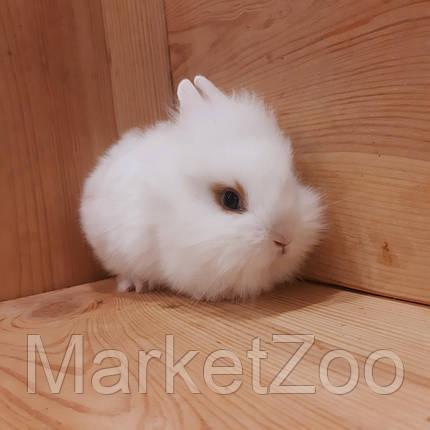 """Миниатюрный торчеухий кролик,порода """"Львиная голова"""",возраст 1,5мес.,мальчик, фото 2"""