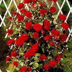 Роза Naheglut (саженцы)