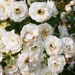 Роза Waltz (саженцы)