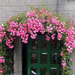 Роза Chaplin's Pink (саженцы)