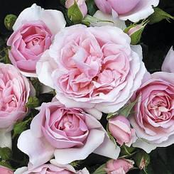 Роза Natascha Richardson (саженцы)