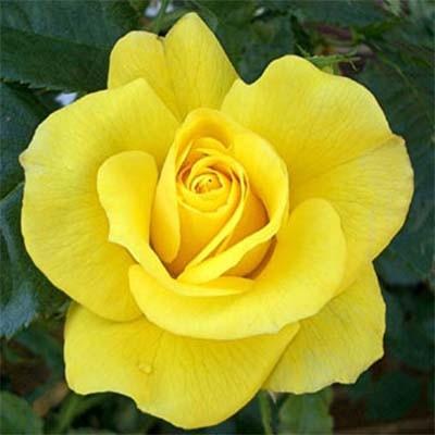 Роза Friesia (саженцы)