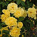 Роза Friesia (саженцы), фото 2