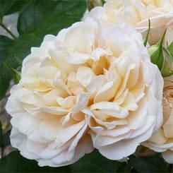 Роза Cream Marie Curie (саженцы)