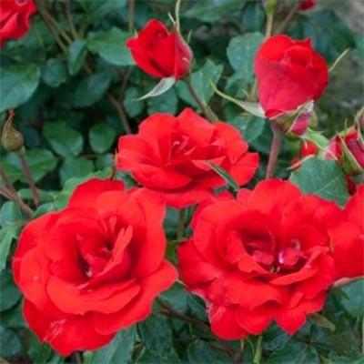 Роза La Sevillana (саженцы)