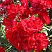 Роза La Sevillana (саженцы), фото 4